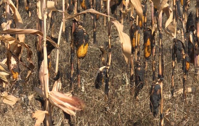 Србину из Доње Будриге запаљена њива под кукурузом, штета је потпуна